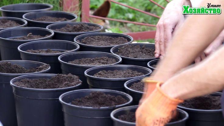 Выращивание клубники в горшках или КЛУБНИКА С НОГАМИ