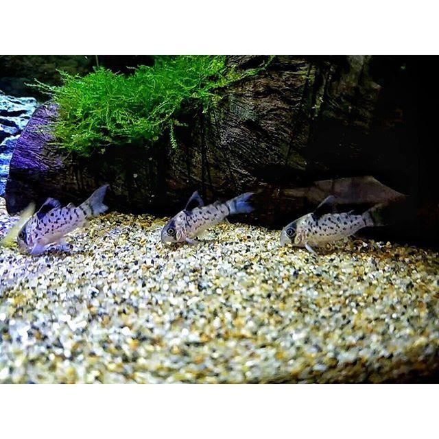 【enjoy_aqua】さんのInstagramをピンしています。 《#黒い三連星 #ジェットストリームアタック #コリドラスパンク #コリドラスレウコメラス #アクアリウム #熱帯魚 #コリドラス #モフモフ #淡水魚 #熱帯魚水槽 #aquarium #fishtank #tropicalfish #corydoras #cory》