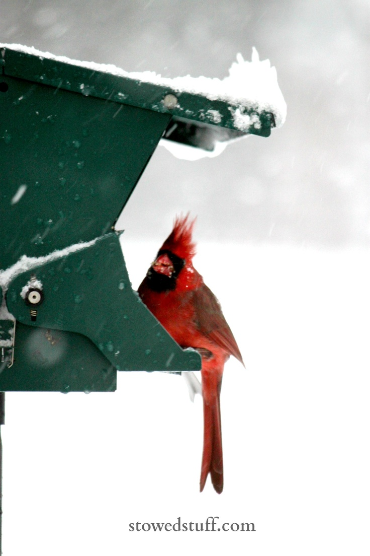 41 best cardinals and snow images on pinterest cardinal birds
