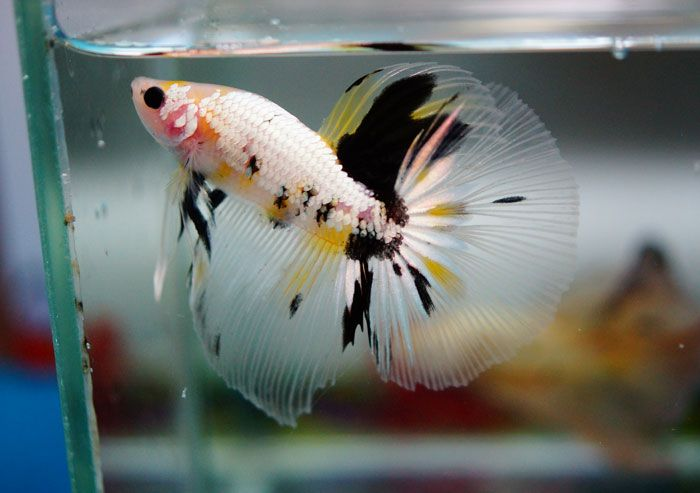 1000 images about half moon betta on pinterest blue for Pet koi fish tank