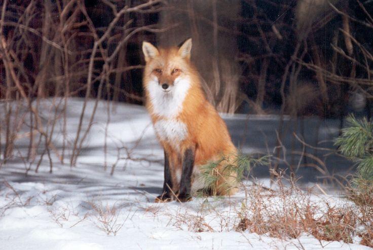 fox we named beauty -Algonquin park