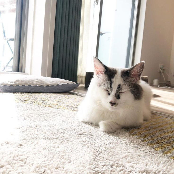今日の風きもちいい Interior インテリア 北欧 北欧デザイン 夫婦 家族 インテリアデザイン デザイン ミナペルホネン Cat にゃんすたぐらむ Catsofinstagram Minaperhonen Design Ikea 猫 ねことくらす 長毛種 ラグドール Cats Animals
