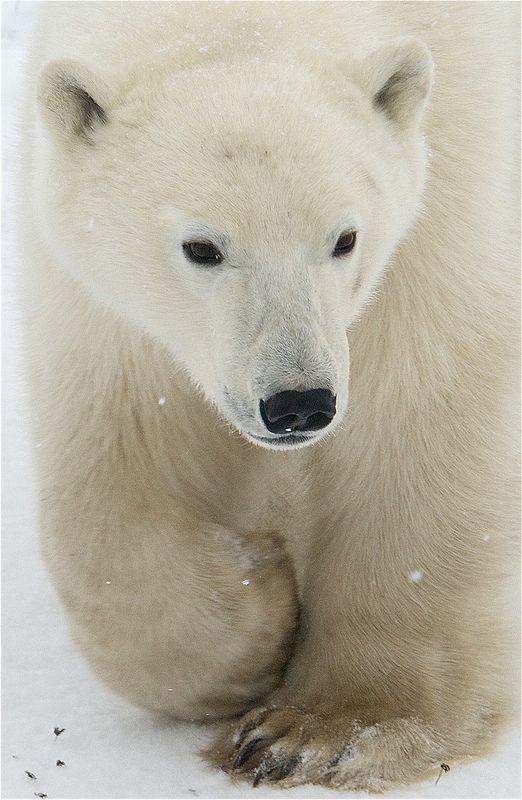 That time of year again! Churchill Polar Bear Migration   -    Valerie / ucumari photography   -       https://www.flickr.com/photos/ucumari/10637337156/       -    -   Live Polar Bear web-cam:  http://explore.org/live-cams/player/polar-bear-lodge-cam