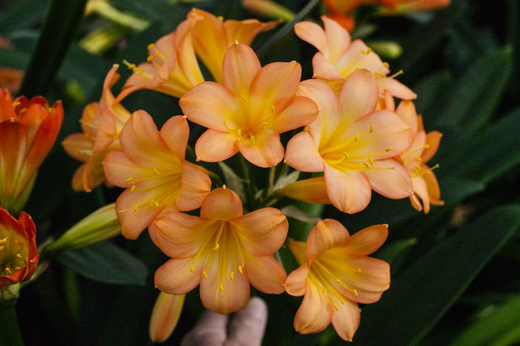 Clivia miniata, Pastel x Tipperary Peach.  Colorado Clivia's plant no. 1881B.