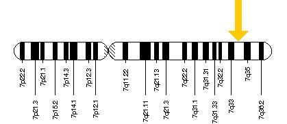 The BRAF gene is located on the long (q) arm of chromosome 7 at position 34.