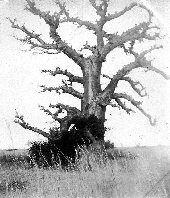 Les fruits du baobab appel s pains de singe sont d 39 normes gousses pendues l 39 extr mit d 39 une - Ecorce de chanvre ...