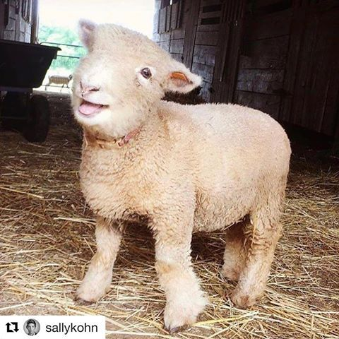 I love me some @sallykohn !! The kids know to pipe down whenever she pops up on the 📺 . If you go diggin you can find a few more pics of Ari as a lamb on our Insta feed...but when you have 50,000 cow pics on your phone , frankly who has the time?😂 . #Repost @sallykohn ・・・ True story: Often, if I need a little pick me up from the woes of the world, I look at this picture of Ari, a babydoll sheep from @hellofreemanfarm. You're welcome. 🐑👍