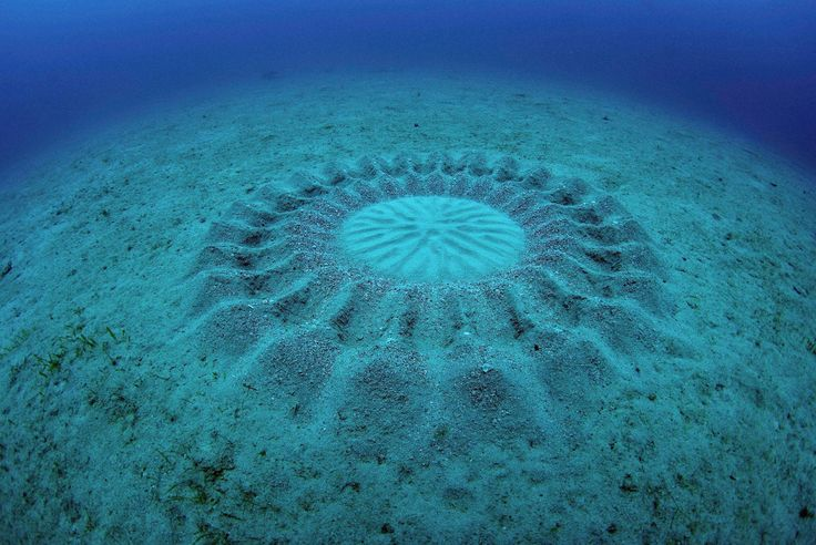 This work of art on the sea floor is by a new species of pufferfish (Torquigener albomaculosus) found in Japan. They make intricate 'crop circles' with geometric designs about six feet (2 meters) in diameter, as their spawning nests. This one was on the seafloor off the coast of Amami-Ōshima Island.