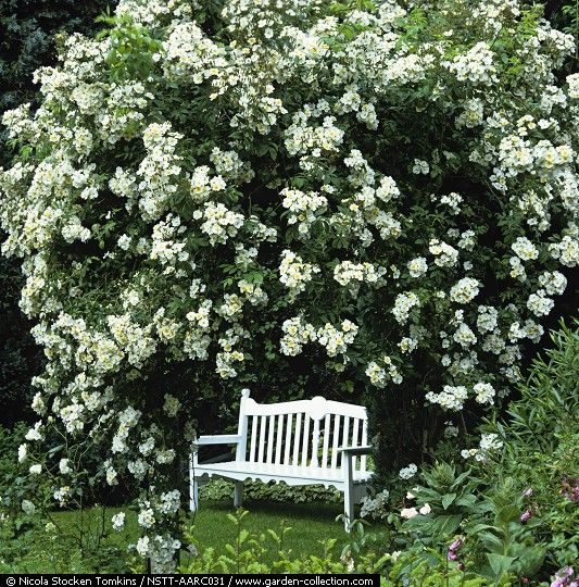 25 Best Ideas About Ground Cover Roses On Pinterest