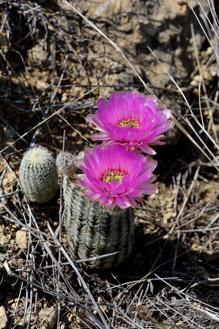 Echinocereus reichenbachii subsp. caespistosus, USA, Texas, Shackelford Co.  More Pictures at: http://www.echinocereus.de