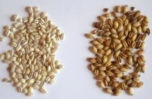The high quality assortment of the Natural Barley Seeds is properly processed as well as safely packed in durable materials.
