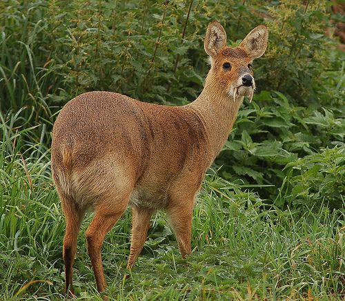 Chinese water deer (Hydropotes inermis inermis) also called vampire deer
