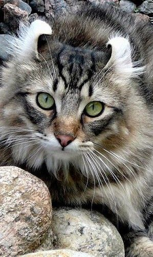 Great American Curl ~ distinguished by unique ears that curl back in a graceful arc, offering an alert, perky, and surprised expression.