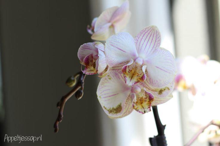Snapshots: My Home #orchid