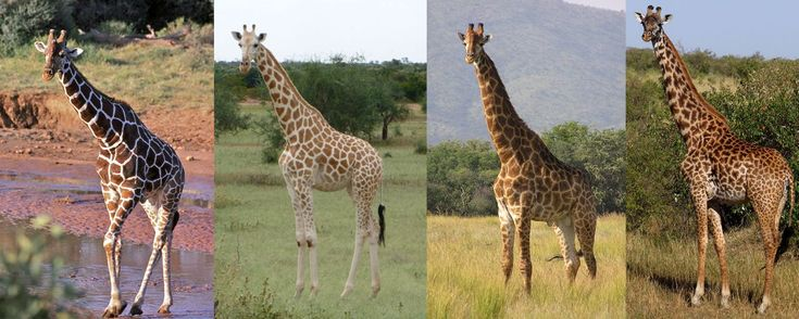 How many giraffe species are there really?