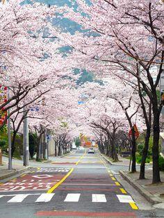 Yeong-Do, Busan, Kore Photo kiraz çiçekleri