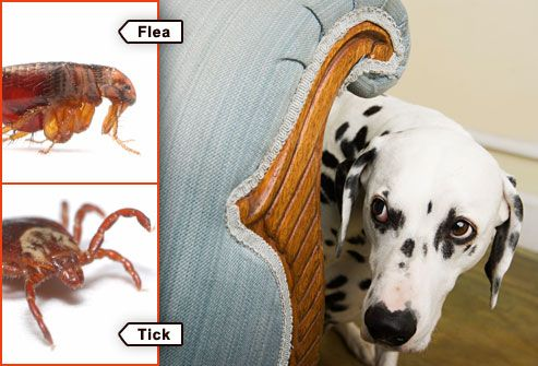 dalmation behind chair hiding from flea and tick Flea & Tick pictures : Get rid of Fleas & Ticks on Dogs and Cats