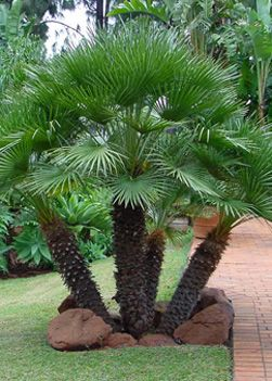 Arizona Desert Palm Trees | Ornamental Desert Trees by Western Tree Company Phoenix Arizona 602 ...