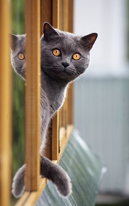 I wil own a big British Blue boy, just like this one.