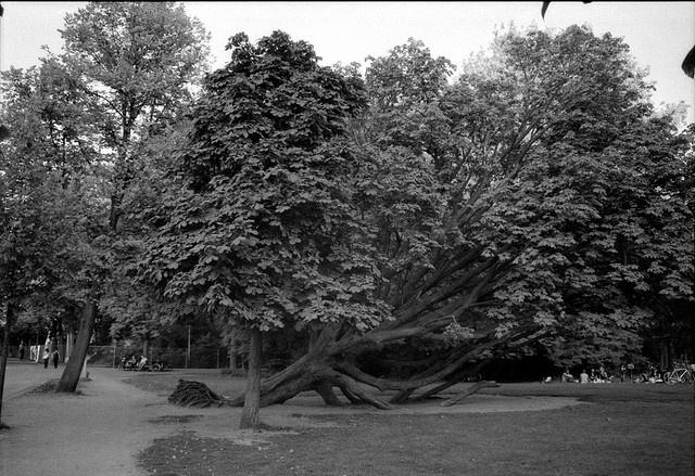 Fallen Tree in the Vondelpark, Amsterdam
