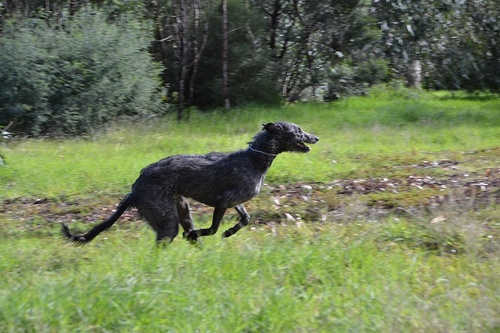 Glassonby Comhnall. A young Scottish Deerhound having fun.