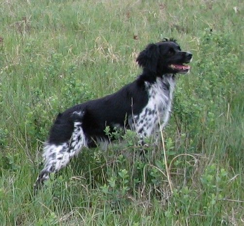 Beautiful French Brittany--In Brittany, the spaniel is referred to as a French Brittany, and the black and white coloration is allowed
