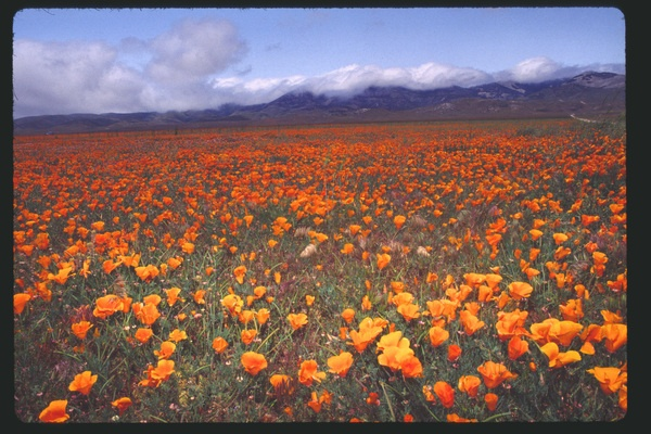 California Poppies: Favorite Flowers, California Dreamin, Poppies Fields, Desert Wildflowers, California Dreams, California Poppies Don T, California Poppies On, Flowers Golden, California Awww