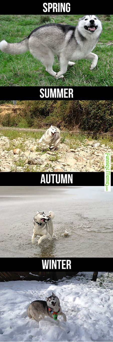 Funny Memes � [Husky During Different Seasons]