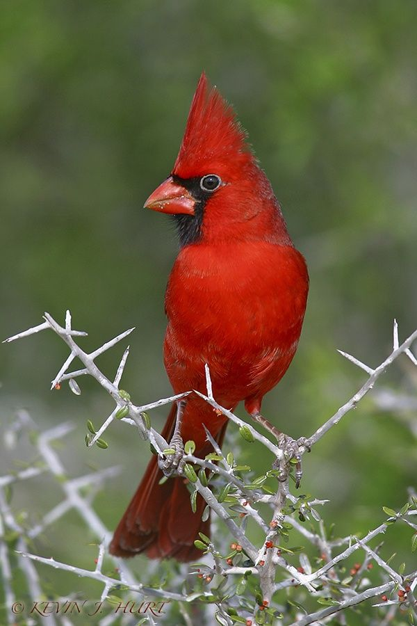 Northern Cardinal-Raised Crest by Kevin J. Hurt, PhD on 500px