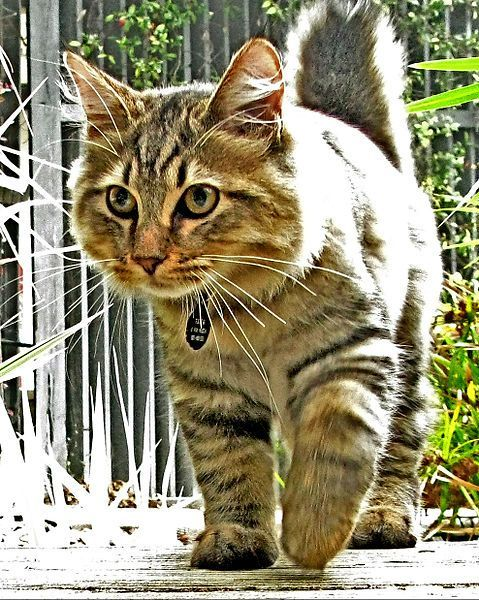 American Bobtail: Bobtail of personality that can not be described in one word perfect. Lively, moving, sweet, intelligent and loving. These wonderful creatures they conquered the hearts of almost all cat lovers.