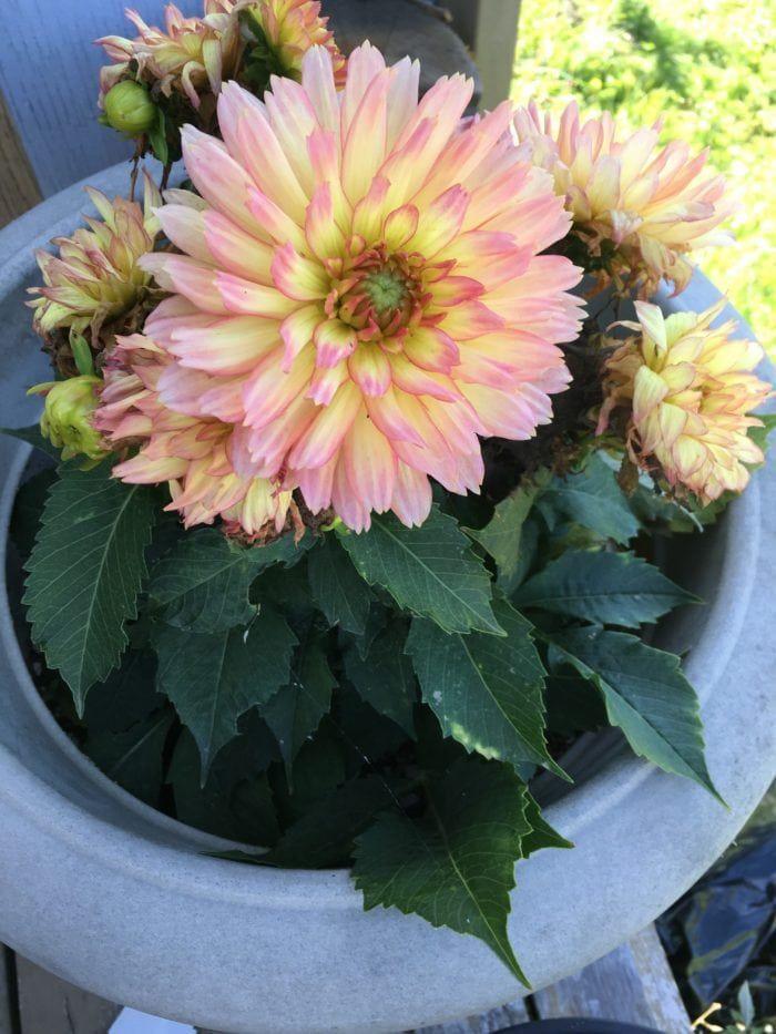 Growing Dahlias Planting Tubers Or Seeds Family Food Garden Growing Dahlias Food Garden Planting Dahlias