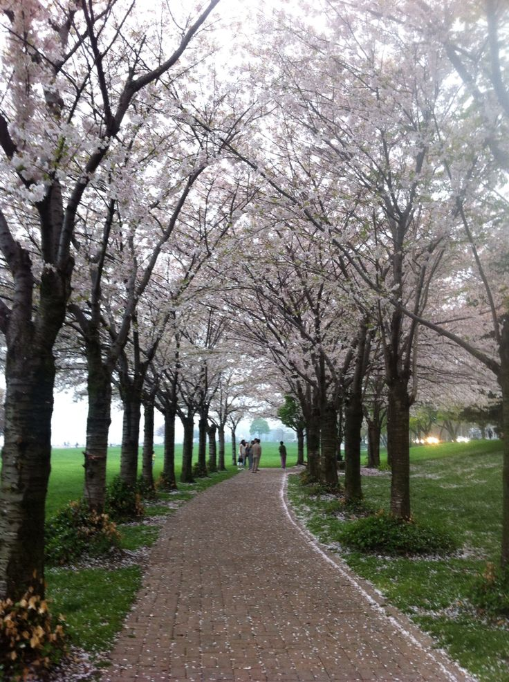 Beautiful Cherry blossoms are in bloom at Spencer Smith Park, Burlington, Ontario.