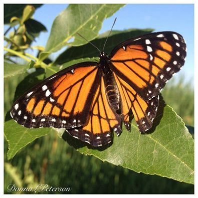 The Monarch Butterfly, Idaho's state insect, stopped by a Weiser Pond to show off his regal beauty.  Photo by Donna L. Peterson.