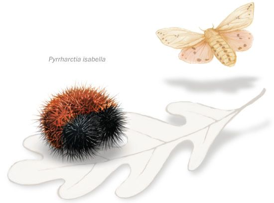 Banded Woolly Bear, or Isabella Tiger Moth, Pyrrharctia isabella by washingtonpost: A woolly bear has an antifreeze in its hemolymph, or circulatory fluid, so even after being frozen in solid ice, a caterpillar can thaw out and return to activity in the spring... #Insects #Wooly_Bear #Isabella_Tiger_Moth