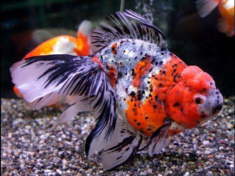 Les 25 meilleures id es de la cat gorie poisson ko sur for Grossiste carpe koi