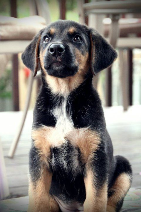 German Shepherd / Lab Cross Breed.... I think I need another dog:)