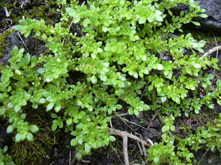 Arтιllery Planт Gυn Powder Planт Pilea microphylla - Wikipedia
