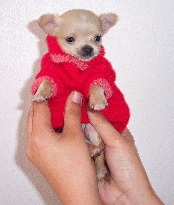Cute overload puppy!: Adorable Furbabies, Red Sweaters, Favorite Places, Animal Chihuahuas, Teddy Bears, Dogs Puppies, Overload Puppies, Animal Red Bows, Chihuahuas Puppies