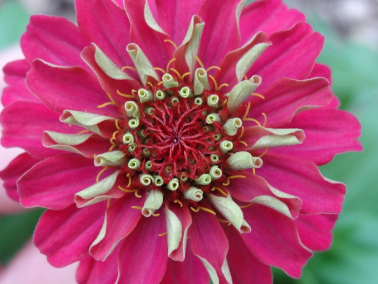 Zinnia By National Home Gardening Club Member Alecia EnSign