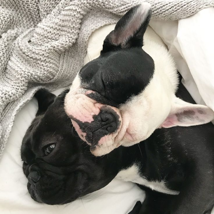 """2,053 Likes, 35 Comments -  Miss. Olive & Lady Mabel  (@miss_olive_the_frenchie) on Instagram: """"Snuggly Saturday """""""