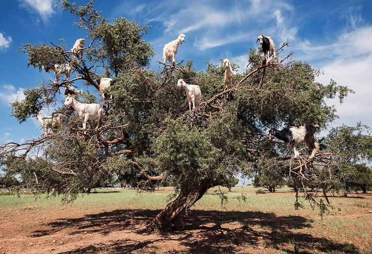 Argan  fotografia di Simone Storelli  Marocco: capre che si arrampicano su un albero di argan.