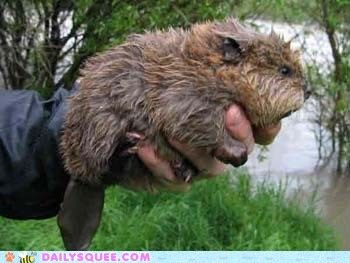 Baby Beaver-Mother Nature's little engineer