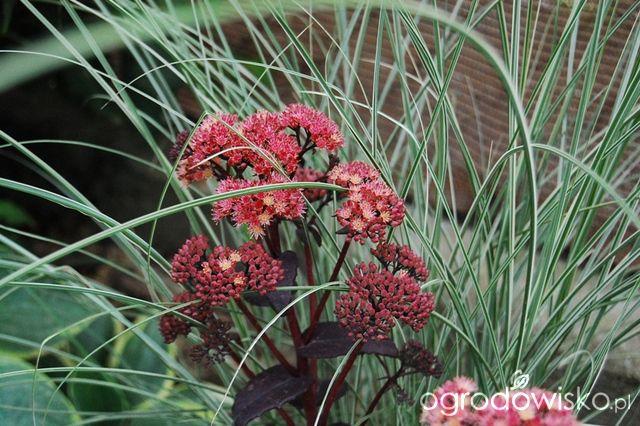 Rozchodnik okazały - Sedum spectabile - strona 10 - Forum ogrodnicze - Ogrodowisko