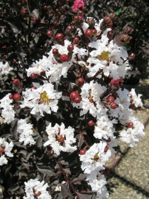 Black Diamond crepe myrtle, 5 foilage colors, grows to 12' max, use as conainer plant, hedge, accent shrub.