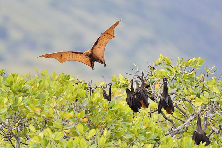Flying foxes are facing extinction on islands across the world. They are the main pollinators of durian fruits. On many islands, fruit bats are the only pollinators and seed dispersers, especially for fruits with large seeds. Their number one threat is hunters. The bats are hunted for food, for their supposed medicinal properties and for sport. They are also killed by farmers to protect fruit crops.