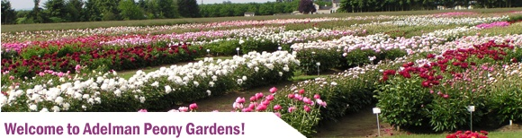 "Adelman Peony Gardens, Salem, Oregon, ""one of America's leading peony growers."" -- Simply lovely!  Click through for lots of information about varieties and growing them.Spring Flower"