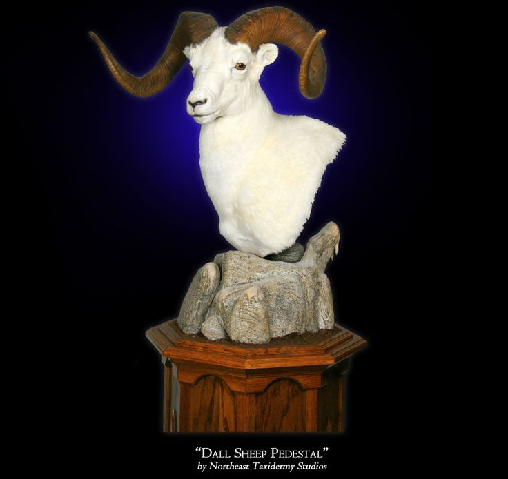 Dall Sheep Pedestal Mount By Northeast Taxidermy