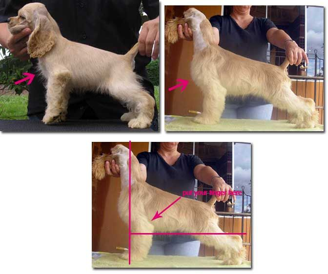 The Standard for the American Cocker Spaniel Explained