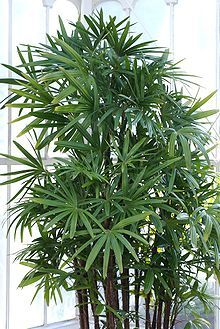 Lady Palm: removes formaldehyde, xylene, toluene, and ammonia from the air while also adding moisture.  Very easy to grow.