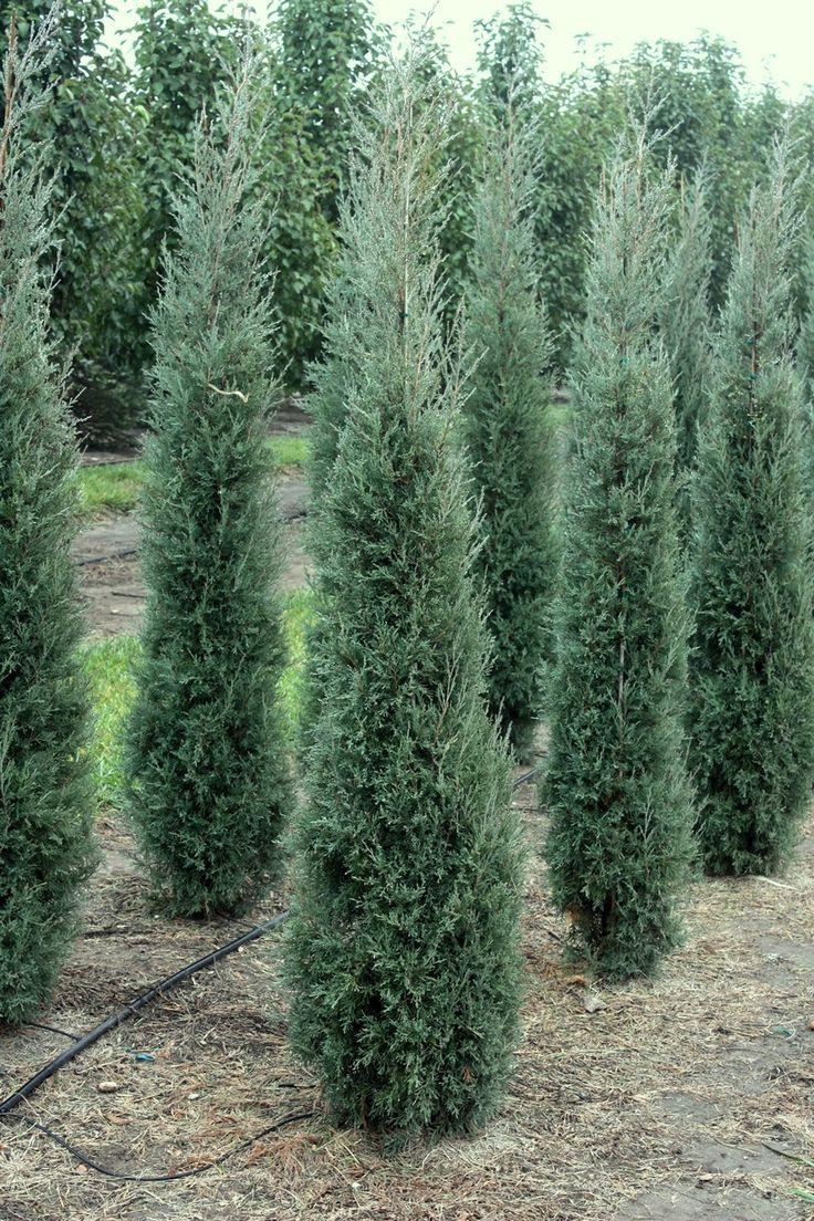 Grey Columnar Evergreens Juniperus Taylor Juniper